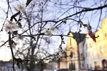 Okrasné třešně sakury rozkvetly díky neobvykle teplé zimě na Sezimově náměstí v Polné na Jihlavsku. Snímek je z 26. prosince.