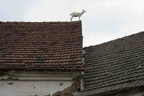 Kůzle na střeše nebo záchrana jezevčíka z kanálu. Ne všechny hasičské zásahy jsou smutné.