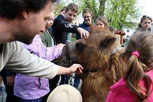 Pohladit si živého velblouda měli možnost dospělí i děti na Vratislavově náměstí.