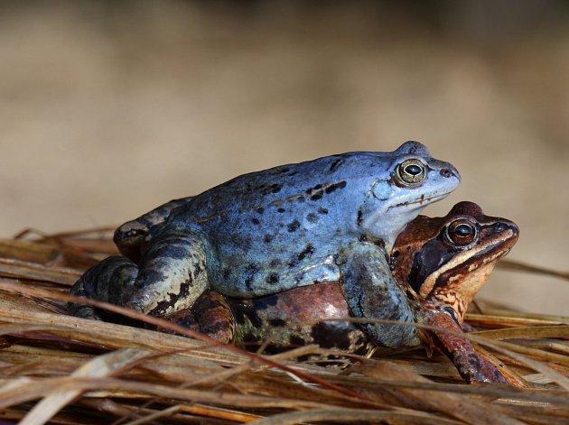 Samečci skokana ostronosého se v době rozmnožování zbarví do modra. Samičky si ponechají tradiční hnědou barvu.