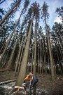 Kácení stromů napadených kůrovcem.