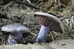 I v prosinci lze najít jedlé houby, například čirůvku fialovou