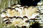 I v prosinci lze najít jedlé houby, například hlívu ústřičnou