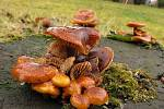 I v prosinci lze najít jedlé houby, například penízovku sametonohou