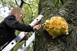 Sírovec žlutooranžový roste na pařezech a dřevu listnatých stromů.