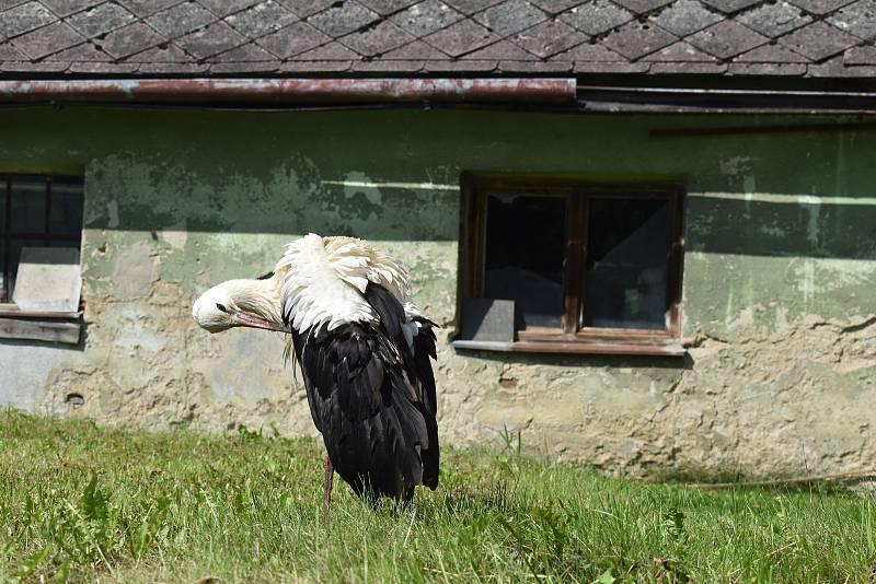 Poraněné čapí mládě se promenádovalo po soukromé zahradě.