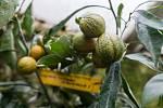 Skleník plný citrusů Petra Broži.
