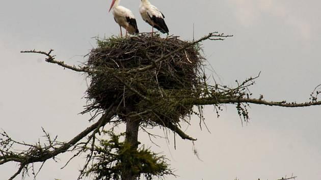 V Rudolci hnízdí rodina čápa bílého na vysokém modřínu.