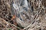 Staré nemocné králíky vyhodil někdo na kopci Oškobrh.