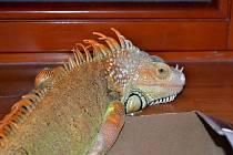 Hasiči zachránili téměř dvoumetrového leguána Oscara.