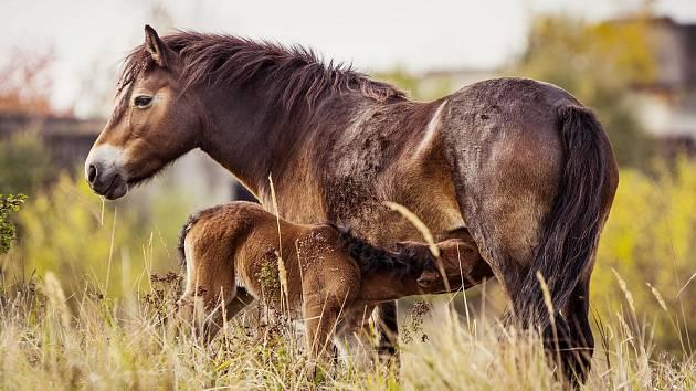 Klisna Sgurr se svým prvním mládětem narozeným v Milovicích.