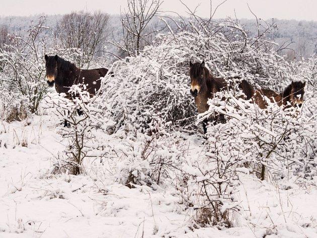 Divocí koně v Milovicích zvládají zimu dobře