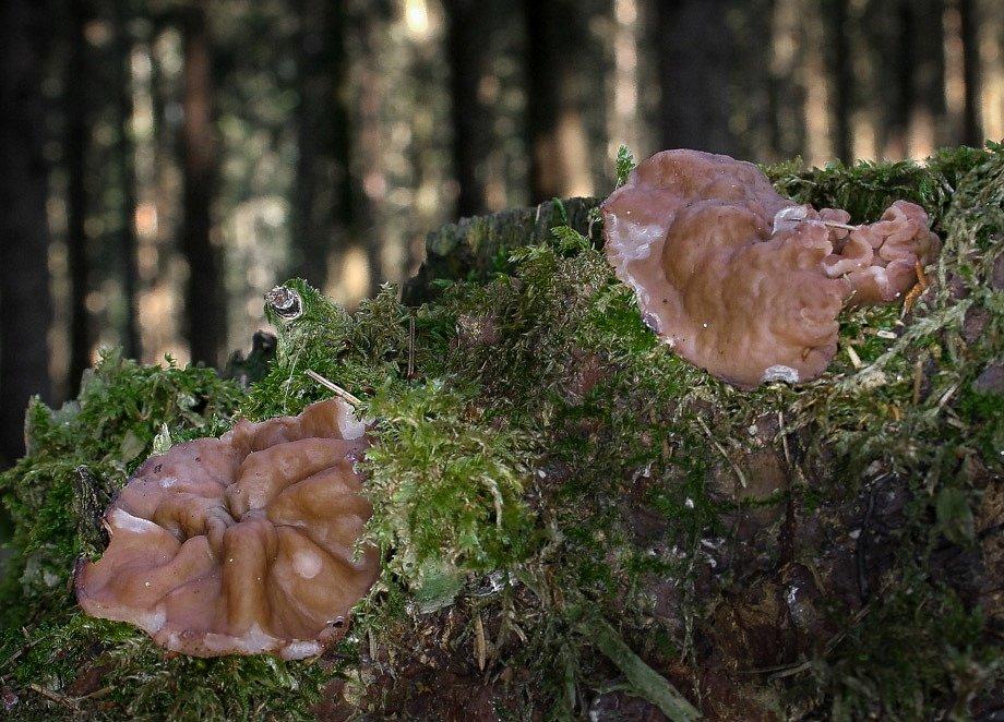 Destice chřapáčová (Discina ancilis)