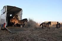 Vypuštění divokých koní z Milovic.