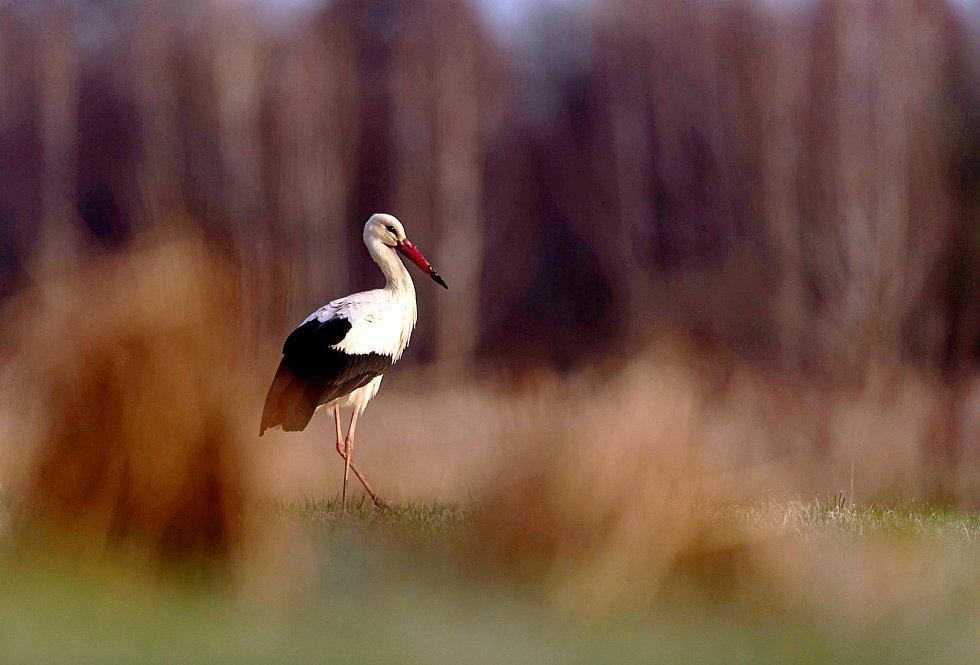 Čapí samec vracející se do Choťánek se pravidelně zastavuje na lukách u Huslíku, kde mu před lety pomohli ochránci přírody.