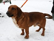Kříženec jezevčíka a baseta – pes, stáří 2 roky. Velmi přátelský pes, vyrovnaný, vzhled jezevčíka, ale robustní postava baseta.