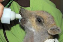 V Záchranné stanici na Huslíku začínají sezonu mláďat kojením čtyř selátek.