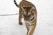 Tygři z cirkusu Jo-Joo jsou nyní ve svém živlu. Jsou totiž sibiřští, takže milují sníh. Jaromír Joo jim vytvořil na zimovišti ve Zbožíčku velké iglú, které má nejradši tygřice Tajga.