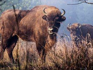 Zubři se na pastvině u Milovic zabydleli.