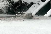 Mladá labuť přimrzla břišním peřím k ledu na rybníku v Úvalech.