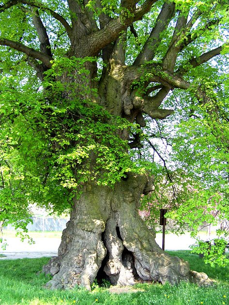 Lípa ve Staré Lysé soutěží o titul Strom roku.