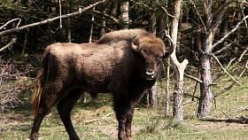 Mladší ze zubřích býků přivezených z Holandska.