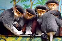 Opičky langur duk mají v chlebské zoo další přírůstek.