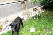 Dvojice labradorek, která se záhadně objevila a zase zmizela.