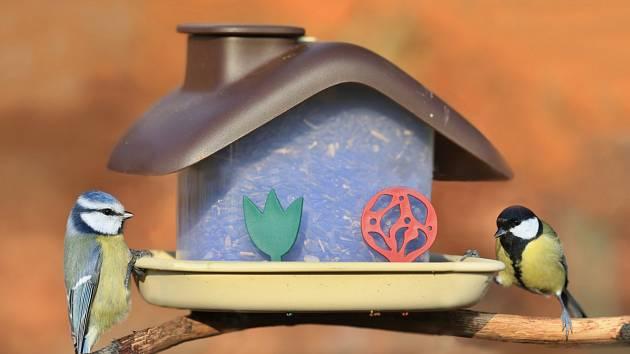 Sýkoru modřinku (na snímku vlevo) lze snadno poznat podle modrého temene. Na rozdíl od ní, sýkora koňadra má hlavu černou.