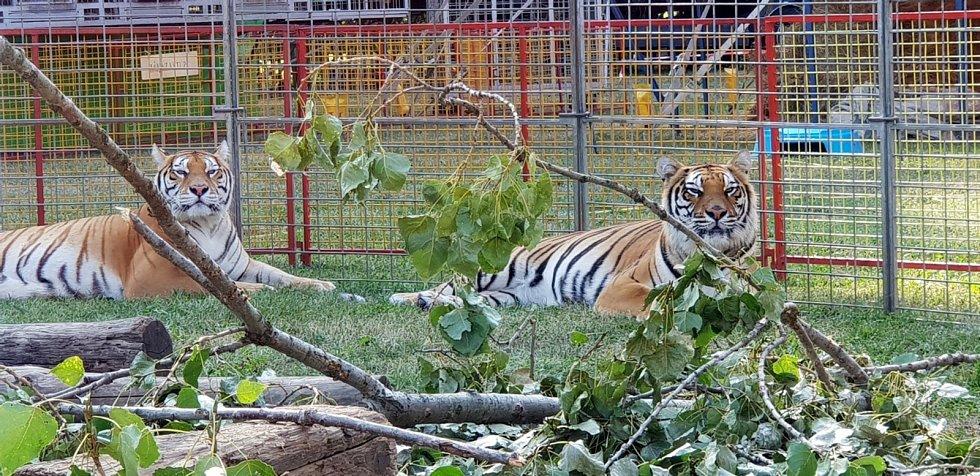 Tygři cirkusu Jo - Joo.