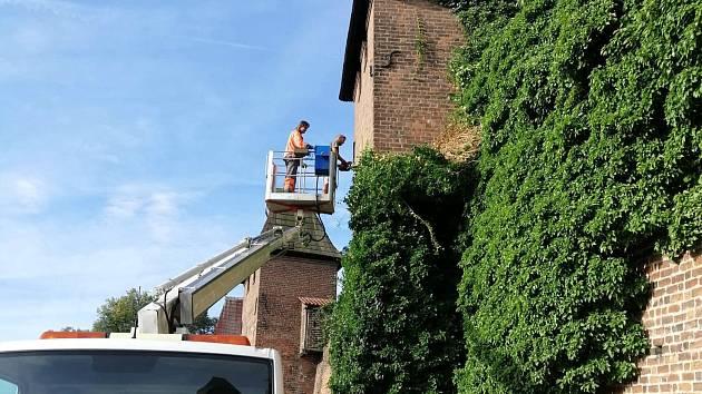 Zaměstnanci technických služeb odstranili část břečťanu z hradeb.
