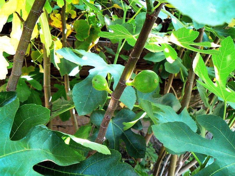 Plod fíkovníku.