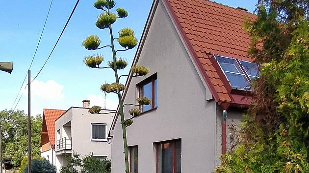 Pětimetrový kaktus v Rožďalovicích po půlstoletí rozkvetl.