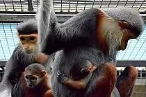 Krásným opičkám langur duk se narodilo v krátkém čase druhé mládě.