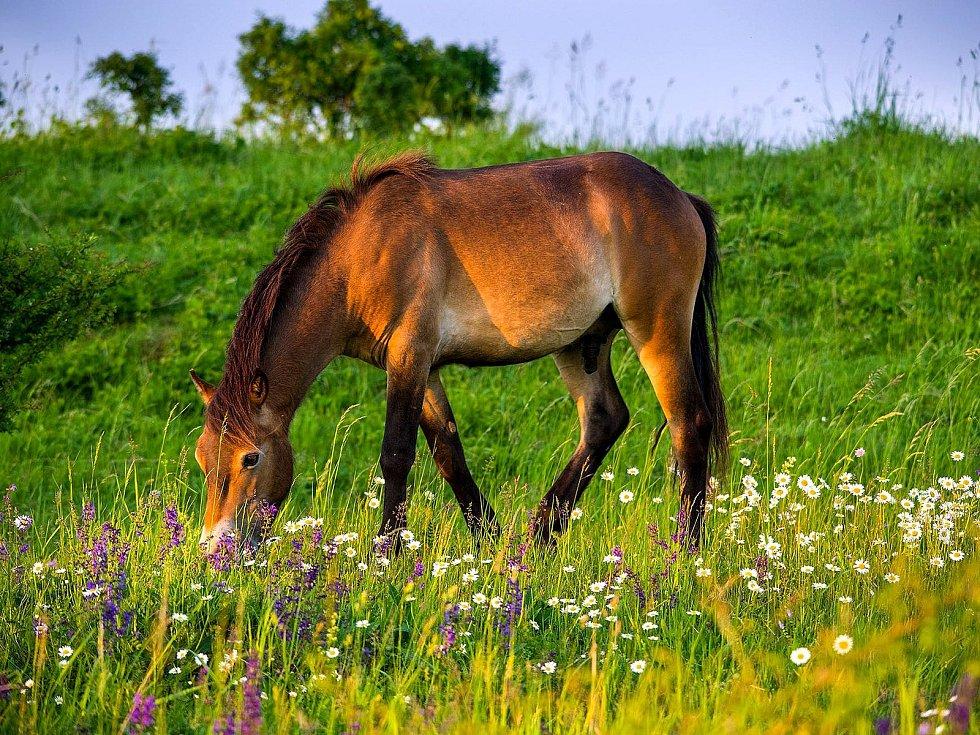 Divocí koně u Milovic.