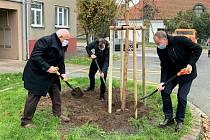 Starosta a oba místostarostové Poděbrad se v pondělí 9. listopadu 2020 ráno chopili rýčů a mladou vrbu slavnostně zasadili.