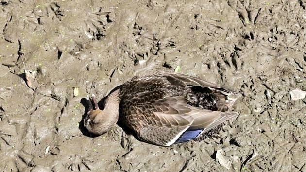 Uhynulá kachna na rybníku u Jičíněvsi.