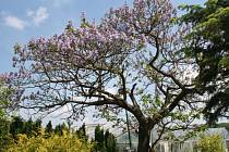Pavlovnie, kvetoucí zázrak v Dymokurech