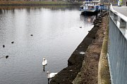 Nový labutí pár plave po Labi mezi zámkem a plavební komorou.