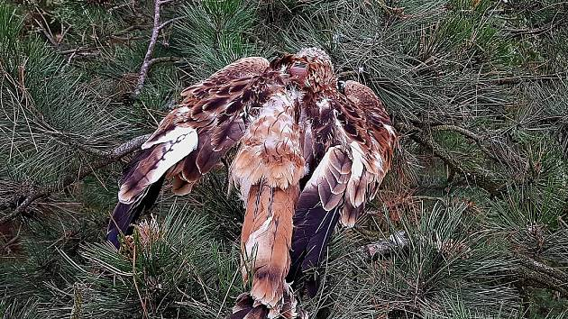 Mladého otráveného luňáka našli ornitologové v koruně borovice.