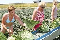 O takové úrodě si letos mohou zemědělci nechat zdát. Tropické teploty zastavily růst zeleniny.
