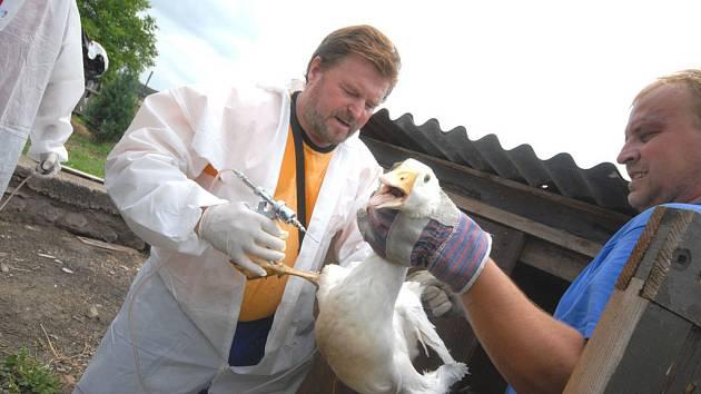 Veterináři museli v předchozích dnech utratit tisíce kusů drůbeže v Tisové na Orlickoústecku.