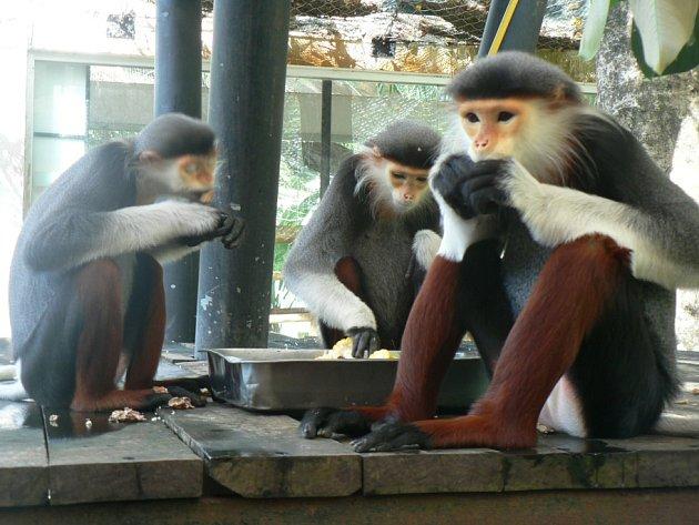 Do chlebské zoo přiletí vzácné opice langur duk