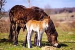 První jarní hříbě se svojí matkou se pase spolu se stádem divokých koní u Milovic.
