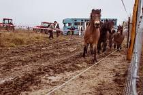 Další stádo divokých koní přijelo z Exmooru do Milovic