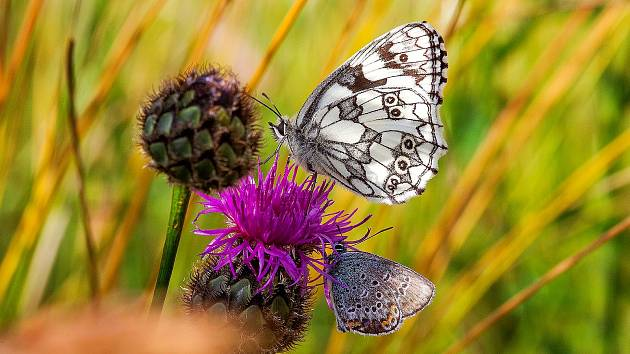 Na milovických pastvinách žije až půlka druhů všech u nás se vyskytujících motýlů.