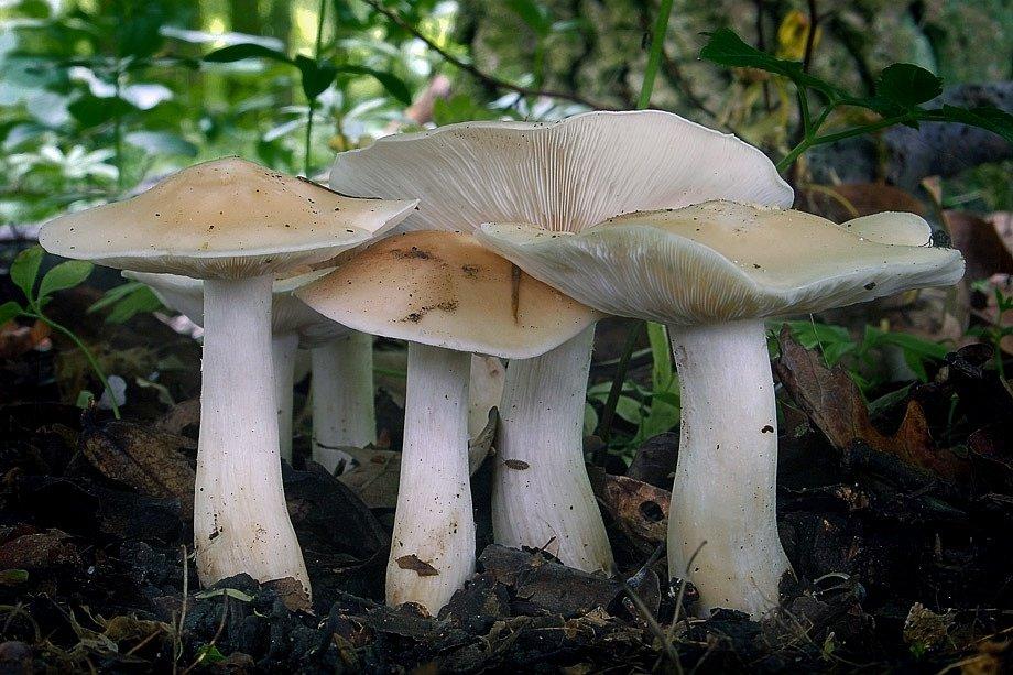Čirůvka Májovka (Calocybe gambosa)