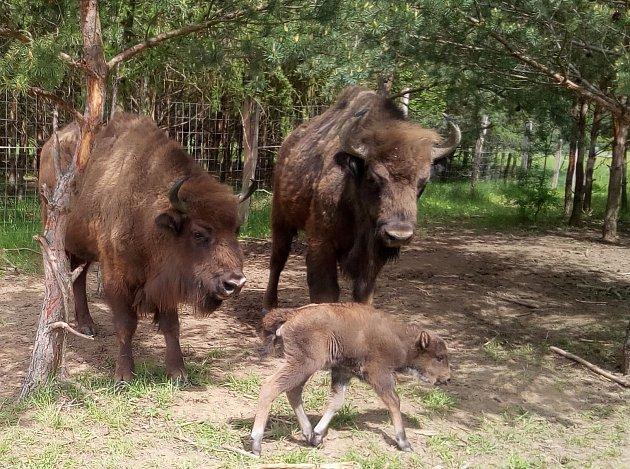První letošní mládě zubrů se narodilo v rezervaci velkých kopytníků v bývalém vojenském prostoru Milovice, na pastvině u Benátek nad Jizerou.