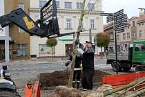 Trojice nových javorů je od středečního dopoledne vysazena na severní části náměstí Přemyslovců.