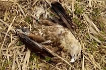 Ptáci, kteří zemřeli na otravu karbofuranem.